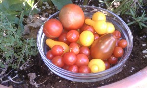 Neighborhood tomatoes