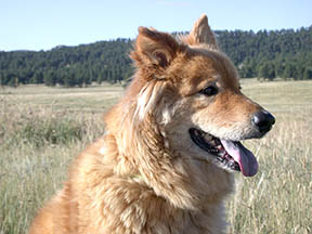 My dog Boofy in Elk Meadow, Evergreen, Colorado